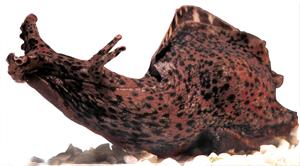 La lumaca di mare e i comportamenti spontanei