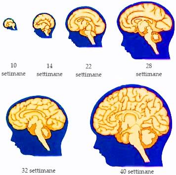 Sviluppo fetale del cervello