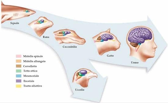 Evoluzionismo e cervello